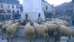 Elles viennent des pâtures en contre-bas pour rejoindre la bergerie tout à côté