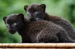 black panther twins - Berlin (jd-pandas) Tags: animal babyanimal bust horizontal offbeat panther twins zoo berlin germany deu