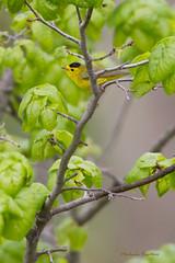 _53F2029 Wilson's Warbler (~ Michaela Sagatova ~) Tags: male dundas woodwarbler birdphotography wilsonswarbler wilsoniapusilla dvca michaelasagatova spring2014