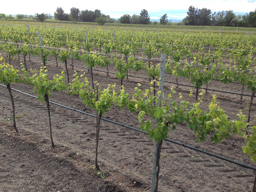 Vineyards Illmitz Austria - 1