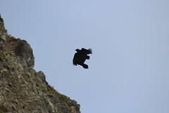 IMG_0879 (armadil) Tags: biketrail devilsslide raven ravens bird birds flying bike062014
