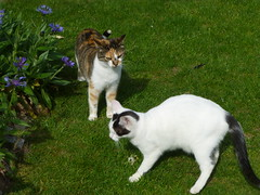 Do you want to fight with me? (valkiribocou) Tags: two game cat garden spring kat chat outdoor duo jardin dos gato deux april avril extrieur printemps jeu minette