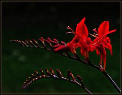 Crocosmia coming into bloom (2) (ronramstew) Tags: flowers garden scotland angus forfar crocosmia montbretia