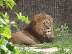 Lions, 2