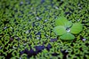 Floating Daintiness (Universal Stopping Point) Tags: water leaves restaurant pond decorative vietnam droplet saigon hochiminh