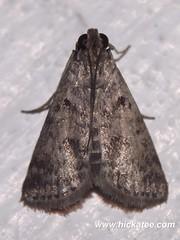 Grass Moth - Family Crambidae - NMW 19 July 2014-043 (Dis da fi we) Tags: belize jungle moth nationalmothweek puntagorda toledo wildlife nationalmoth mothing cottages hickatee
