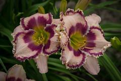 """Flying Saucer Blues"" (Larry Senalik) Tags: park flower canon washington illinois daylily springfield dslr perennial hemerocallis t3i 2014 d060w"