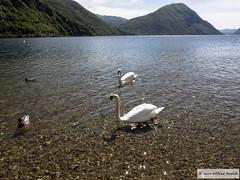 DSC_9621 (Roelofs fotografie) Tags: lake alps bird nature dutch birds animal animals landscape geotagged lago spring nikon meer vogels natuur alpen alpi dieren lugano dier italie wilfred vogel landschap zwaan voorjaar knobbelzwaan d3200 porlezza roelofs