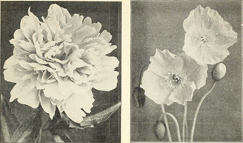 "Image from page 20 of ""Dreer's old-fashioned hardy plants"" (1916)"