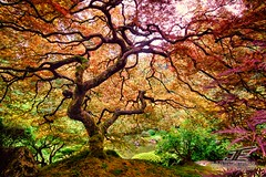 Japanese Maple - Japanese Gardens, Portland, OR (jakeegbert) Tags: tree oregon portland maple japanesemaple pdx japanesegardens 2014 thattree