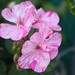 HollyBee's Pelargonium 'Blooms for a Cure'