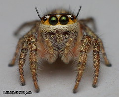 Sup Shooter! [Explored :D] (hassanteyz) Tags: macro beautiful closeup fur spider jumping eyes extremecloseup spikes jumpingspider 6eyes poormansmacro macromarvels vaikaradhoo hdhvaikaradhoo hassanteyz hassanthalhath