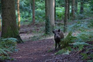 My first boar encounter!