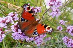 Dagpåfugleøje (Steenjep) Tags: flower macro closeup butterfly peacock sommerfugl verbena tagpfauenauge inachisio dagpåfugleøje europeanpeacock mariposapavoreal s6400