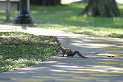 Squirrel on a Duck Path (FilmandFocusPhoto) Tags: park tree nature grass canon outdoors squirrel shadows sidewalk telephoto todayspic