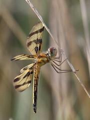 Sunrise for the Halloween Pennant (carolesong) Tags: female dragonfly hamburgpa halloweenpennant kaerchercreek celithemiseponina15in
