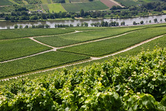 Grapevines along the Mosel, Luxembourg (troov) Tags: nature river germany landscape outdoors vineyard scenery europe hiking vineyards grapes luxembourg grapevine mosel moselle grapevines wormeldange e2 ahn gr5 rehlingen wincheringen koeppchen köppchen