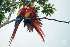Scarlet Macaw - Ara macao (Jorge De Silva R) Tags: birds scarlet de mexico la aves macaw chiapas ara roja guacamaya reserva macao montes azules biosfera