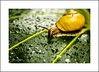 El caracol (jon agirre + the ocassional inspiration) Tags: naturaleza verde green nature rain animal animals yellow lluvia natural snail natura amarillo animales euskalherria euria caracol animaliak horia berdea barraskiloa marraskiloa