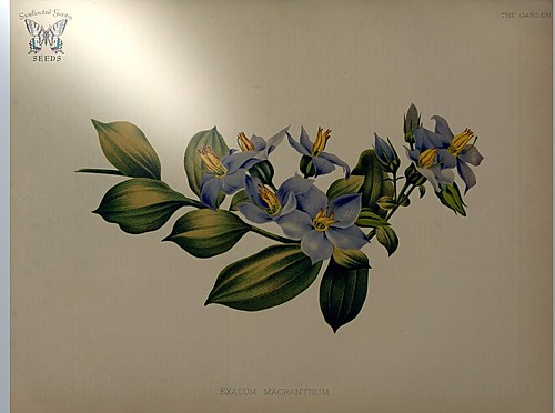 Exacum macranthum. The 2 inch flowers are rich purple blue, with pointed petals. Great for bedding in warm, humid, subtropical climates, and as a window plant elsewhere. The garden. An illustrated weekly journal of horticulture… vol. 22 (1882)