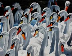Claddagh Swans (Bob A Fox) Tags: ireland west galway swans claddagh