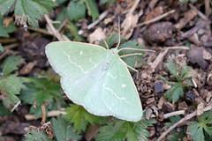 1668(7975) Essex Emerald- Antonichloris smaragdaria (linanjohn) Tags: france macro nature wildlife insects lepidoptera moths geometridae drome rhonealpes grane 1668 essexemerald antonichlorissmaragdaria