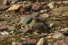 """White-tailed Ptarmigan • <a style=""""font-size:0.8em;"""" href=""""http://www.flickr.com/photos/63501323@N07/14905712952/"""" target=""""_blank"""">View on Flickr</a>"""