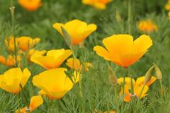 Californian Poppy (gripspix) Tags: plant flower nature natur pflanze blume californianpoppy goldmohn escholziacalifornica kalifornischermohn 20140813