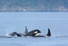 Speedy Whales (Hysazu) Tags: wild britishcolumbia wildlife dolphins pacificnorthwest whales orca killerwhales orcinusorca blackfish salishsea wildwhales islandadventures islandexplorer4 20150730