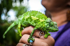 Chameleon in Maui (allisonbazian) Tags: hawaii sharp bold cameleon