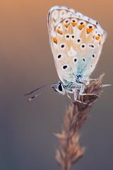 Argus bleu (GnondPomme) Tags: france macro nature butterfly fuji papillon fujifilm aude proxy argus garrigue xe1 argusbleu