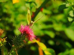 Good Morning (Nomadic074) Tags: nature goodmorning thistles largewhitebutterfly