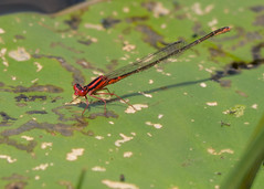 Scarlet Bluet (sbuckinghamnj) Tags: ocean county scarlet nj forge damselfly wma stafford bluet odes