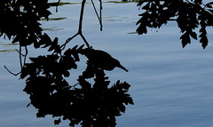 camouflaged (Sky_PA) Tags: blue lake tree heron water leaves silhouette canon leaf state pennsylvania parks powershot pa camouflage lancaster pointshoot longspark pennsylvaniastateparks sx50