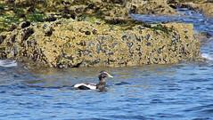 Eider Duck (Somateria mollissima) (RiverCrouchWalker) Tags: autumn sea bird rocks september northumberland barnacles farneislands 2014 anatidae eiderduck somateriamollissima seaduck cuddysduck