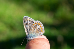 Polyommatus sp. (Lycenidae; Lepidoptera) (Miguel ngel Jimnez) Tags: miguel lepidoptera lepidopter ngel polyommatus lepidptero jimnez licnido lycenidae licenid