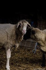 201408-Scharfe-7497 (jerdlingshof) Tags: green sheeps wz scharfe erdlingshof