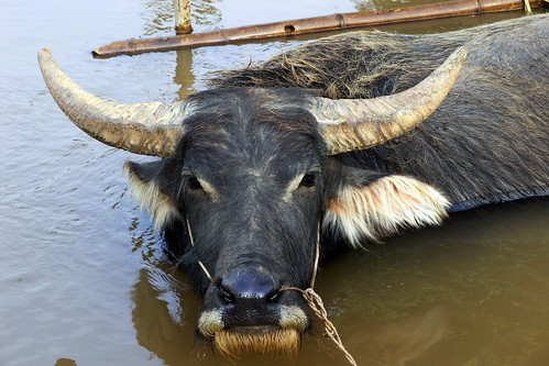 Myanmar - Inle Lake - Water Buffalo - 1