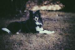 Wolves (Rivendell_Native) Tags: autumn dog fall love beautiful dark lyrics wolf sheepdog shetland wolves