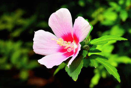 Rose of Sharon in The Rain / ムクゲ