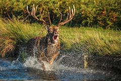 Beast of Bushy 2014 - coming soon? (stephen.darlington) Tags: red england animal mammal surrey reddeer rut bushypark bellow rutting
