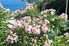 御蔵島 (GenJapan1986) Tags: 2014 伊豆諸島 御蔵島 御蔵島村 旅行 東京都 離島 日本 travel japan tokyo 海 太平洋 pacificocean sea flower nikond600 mikuraisland