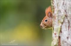(Seven Act) Tags: red nature animal squirrel squirel eichhrnchen europan sugetier redeuropansquirrel
