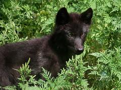 Haliburton Wolf Centre (CampCrazy Photography) Tags: ontario beautiful animal fur pups canine pack cubs predator creature wolves haliburton hunt carnivore haliburtonwolfcentre