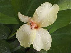 Flor em cor de amarelo (Maz Parchen) Tags: natureza flor jardim canna floramarela cannaceae maz canadaindia bananeirinhadejardim mazparchen floremcordeamarelo