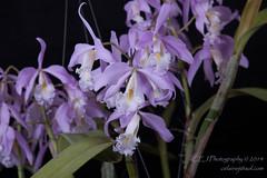 CEJ_2014-4565_2_AOSJud_20140727_IMG_0196_CEJ_W.jpg (celainej) Tags: white plant orchid flower green yellow purple orchids bg aos lavandar cmaxima 20144565