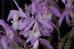 CEJ_2014-4565_3_AOSJud_20140727_IMG_0219_CEJ_W.jpg (celainej) Tags: white plant orchid flower green yellow purple orchids bg aos lavandar cmaxima 20144565