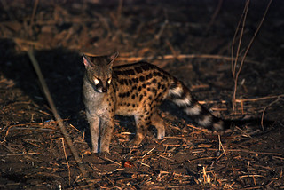 Large Spotted Genet (Genetta tigrina), South Luangwa NP, Central Province, Zambia