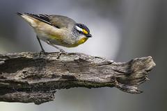 Striated Pardalote 2016-08-07 (60D_2680) (ajhaysom) Tags: striatedpardalote pardalotusstriatus woodlandshistoricpark greenvale melbourne australia australianbirds canoneos60d sigma150600