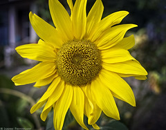 Sunflower Smiles (mjardeen) Tags: canonfd35mm28 canon fd 35mm 28 sony a7ii a7m2 tacoma wa washington on1 on1effects closeup wideangle yellow sunflower smile vibrant happy flower plant